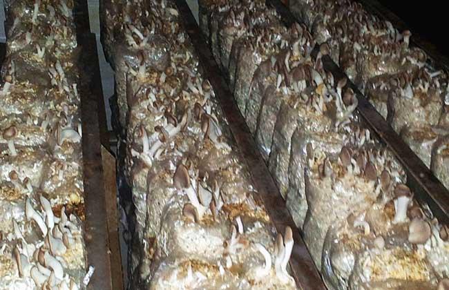 秀珍菇栽培技术