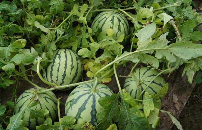 西瓜大棚种植技术