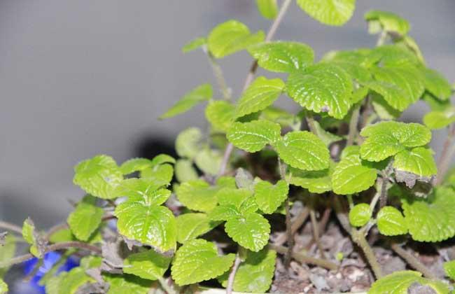 吸毒草养殖方法和注意事项