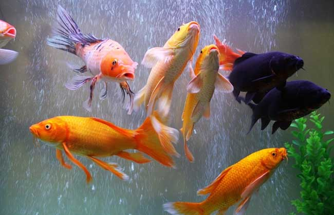 养锦鲤鱼的风水有哪些?