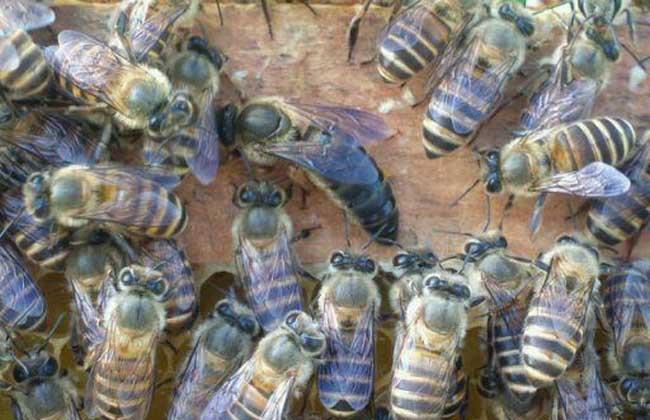 养蜜蜂蜂王不走的技术