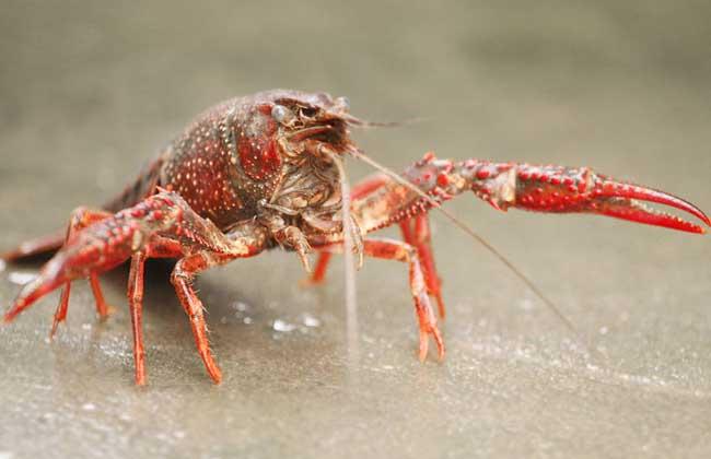 养20亩龙虾可赚多少钱?