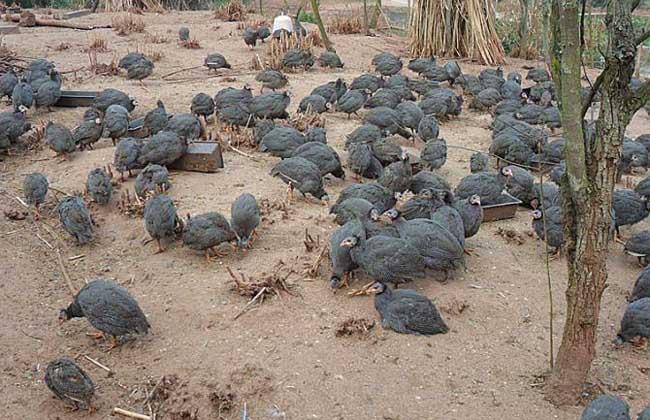 珍珠鸡养殖技术