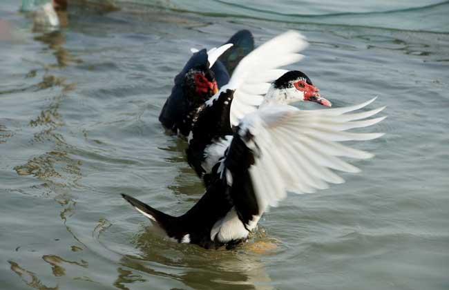 鸳鸯鸭养殖技术