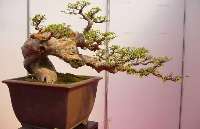 榆树盆景养护与制作