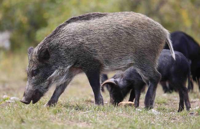 野猪破坏庄稼怎么办?