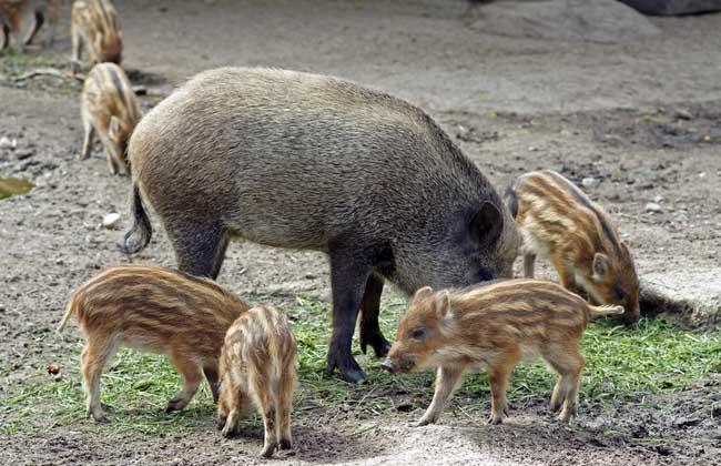 野猪破坏庄稼怎么办