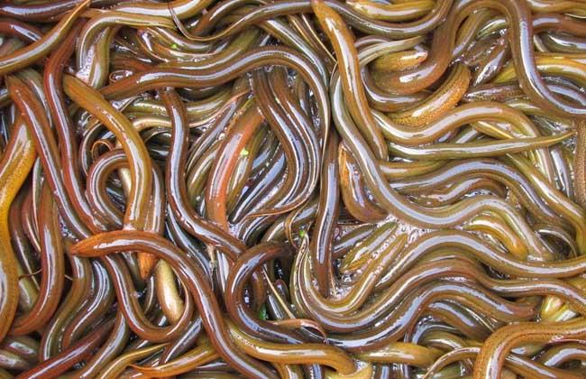 野生黄鳝和养殖黄鳝的区别