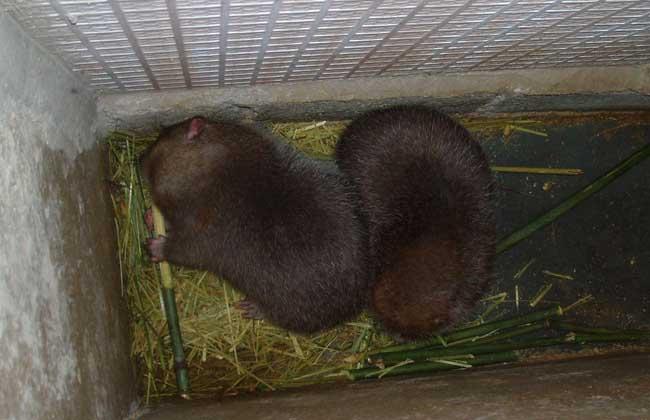 竹鼠一年生几胎