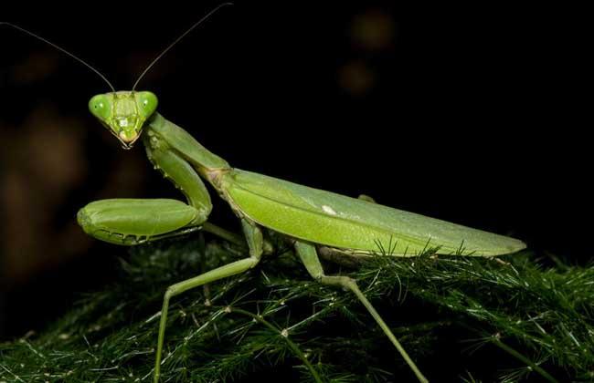 螳螂为什么吃丈夫?