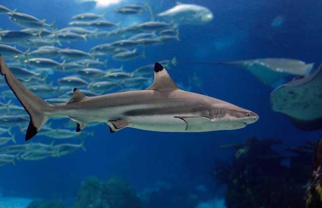 鲨鱼为什么怕海豚?