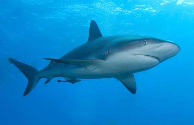 鲨鱼为什么怕海豚