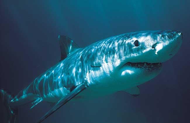 鲨鱼种类图片大全