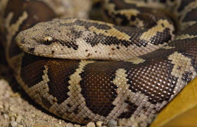 蟒蛇种类图片大全