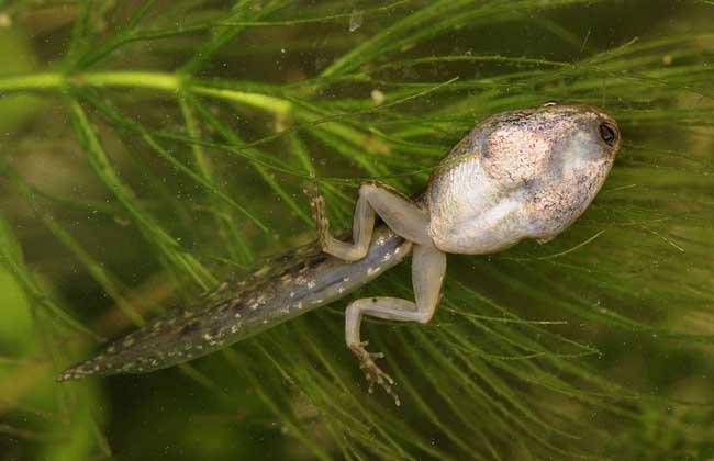 蝌蚪养殖技术