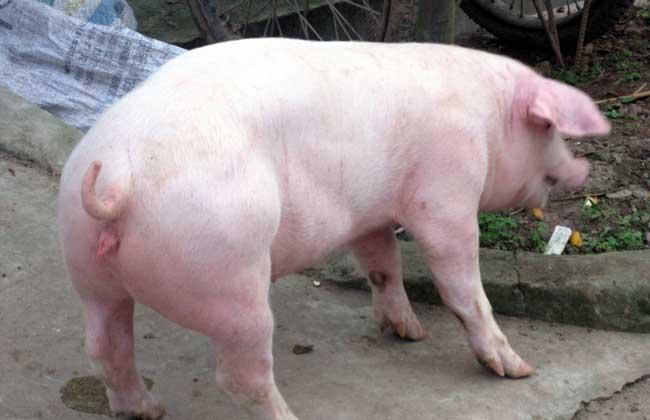二元母猪饲养技术