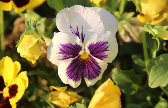 三色堇的种植方法