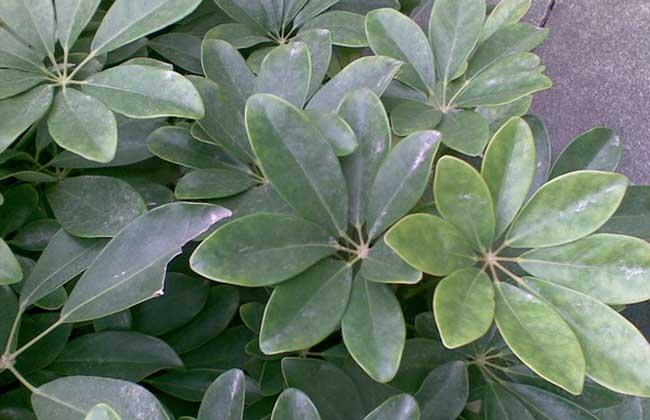 七叶莲的养殖方法和注意事项
