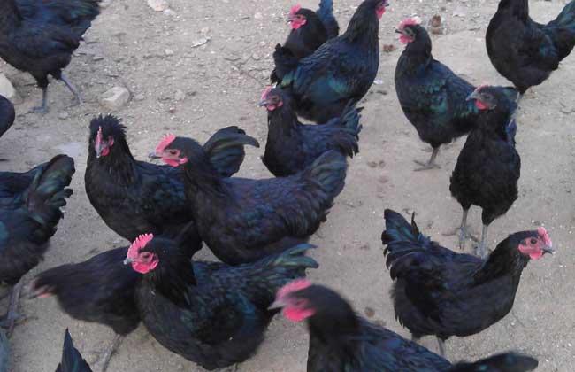 五黑鸡养殖技术