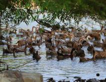 三穗鸭养殖技术视频