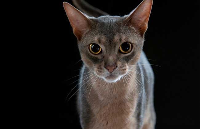阿比西尼亚猫多少钱?