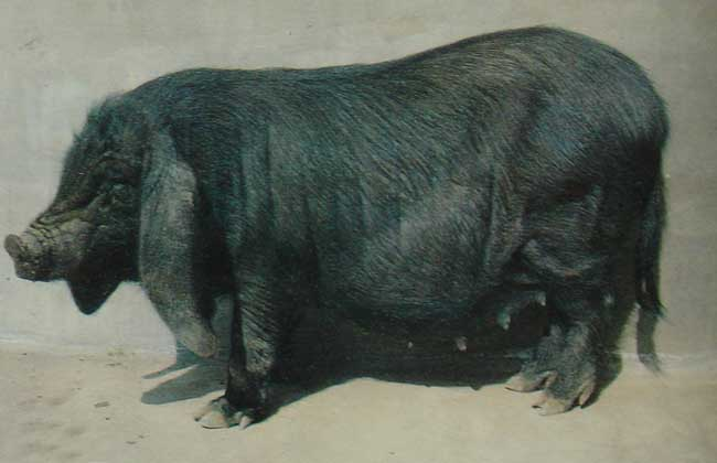 八眉猪养殖技术视频