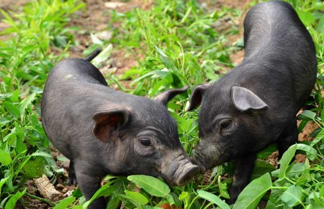 八眉猪养殖技术视频猪繁衍视频图片