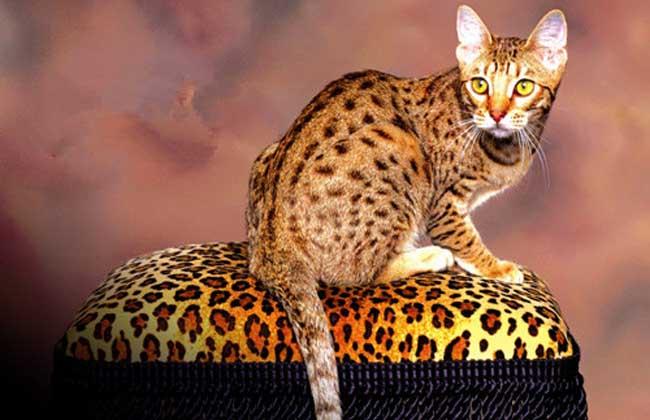 埃及猫价格图片