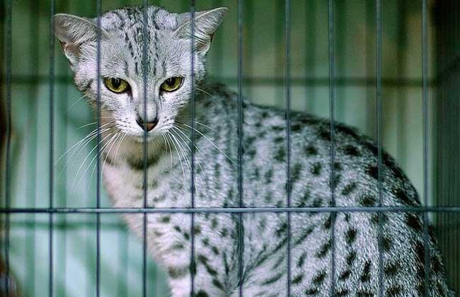 埃及猫多少钱图片