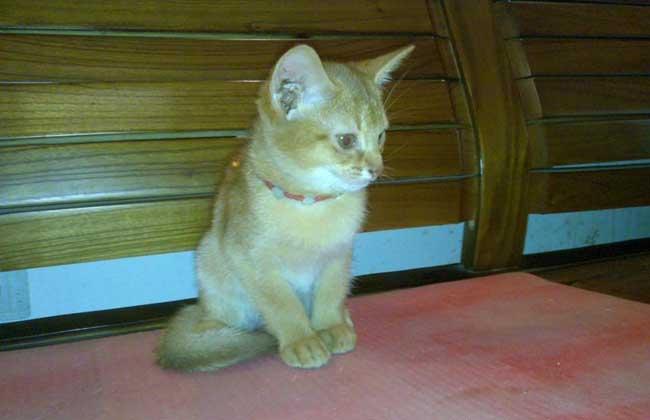 埃及猫的历史图片