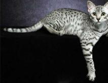 埃及猫的神话传说