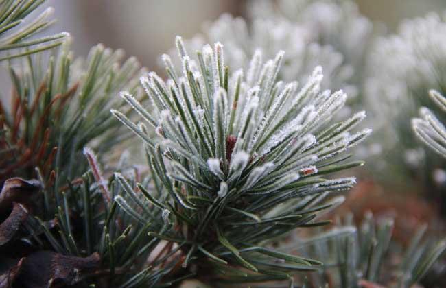 五针松盆景的冬季养护图片