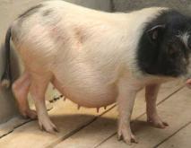 五指山猪养殖技术视频