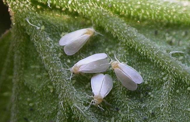 白粉虱的防治方法