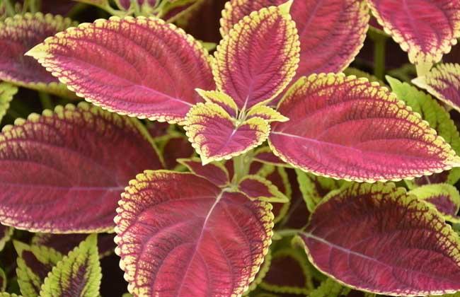 彩叶草养殖方法
