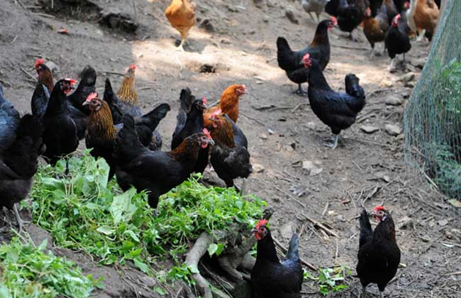 藏鸡养殖技术视频