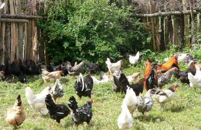 藏鸡养殖技术