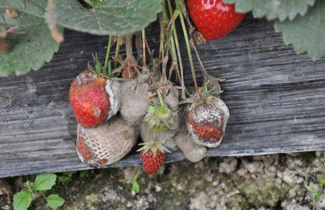 草莓灰霉病特效药