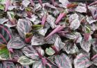 彩虹竹芋的养殖方法