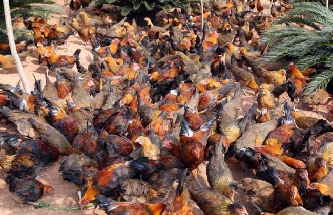 茶花鸡养殖技术