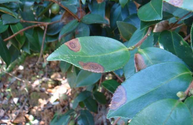 茶轮斑病怎么防治