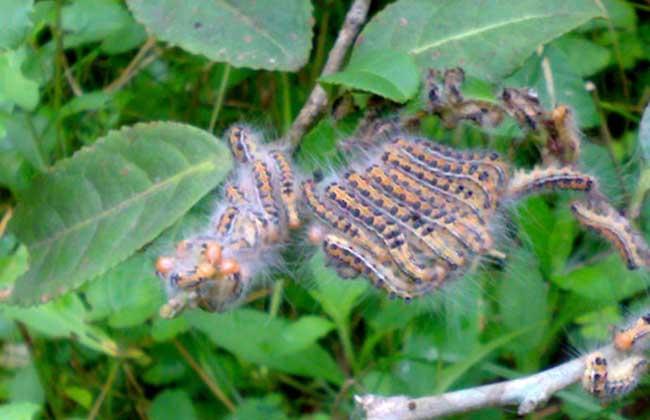 茶毛虫防治方法