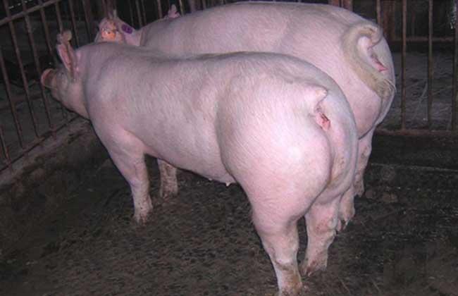 """""""長白豬""""品種的(視頻圖文)養殖技術資料"""