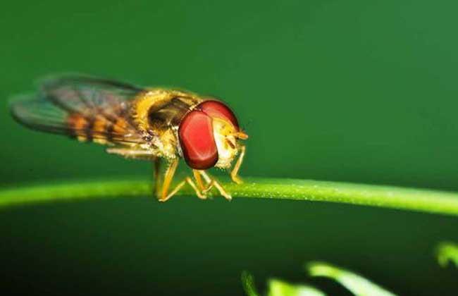 赤眼蜂防治玉米螟