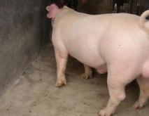 长白猪养殖技术视频