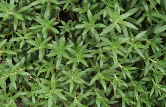 垂盆草的功效与作用