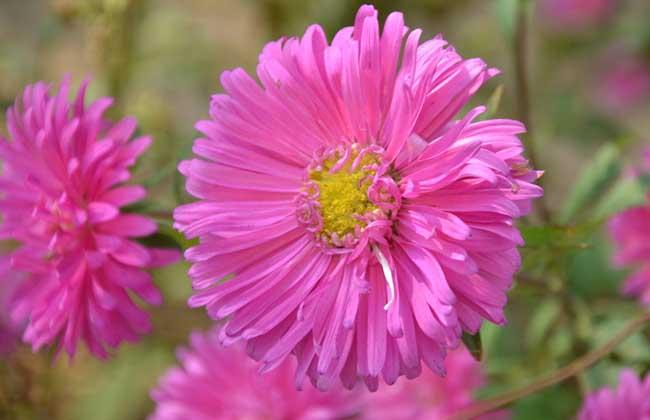 翠菊的种植方法