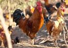 大骨鸡养殖技术视频
