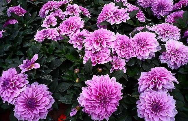 大丽菊什么时候开花