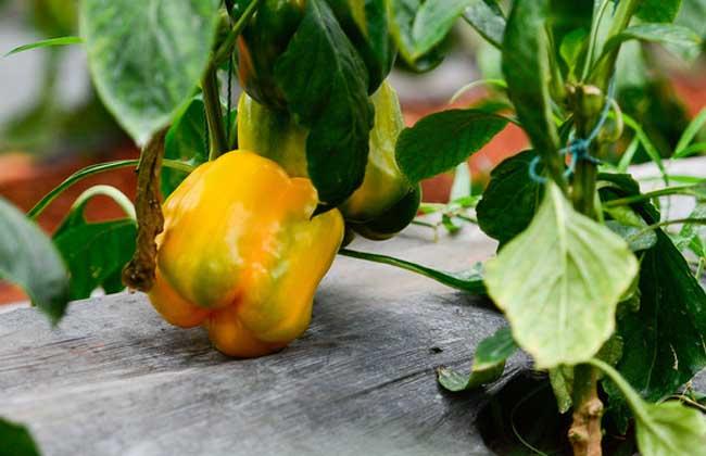 大棚彩椒种植技术